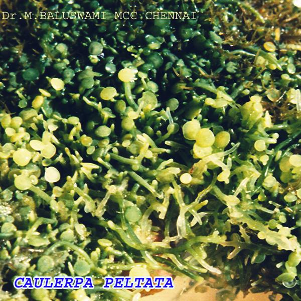 alga  makro Hayuno Sakura
