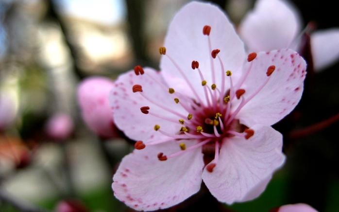 sakura-flowers-15342-16014-hd-wallpapers